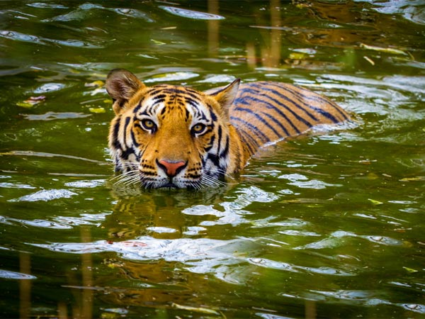 Tiger Sightings In India