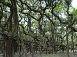 255 Year Old Banyan Trees Kolkata 255