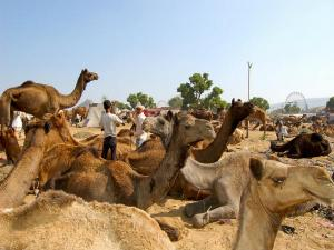 Pushkar Fair The Celebration Camels