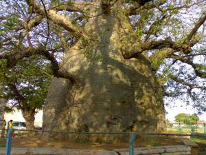 Savanur Baobabs Interesting Trees Savanur