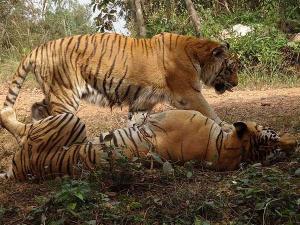 Trip Tyavarekoppa Lion Tiger Reserve