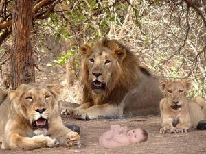 The Baby Born Between 12 Brutal Lions The Most Terrible