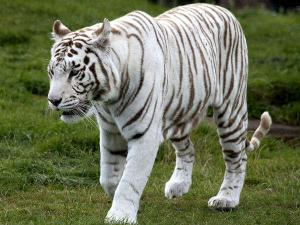 Expedition Rewa World S First White Tiger Sanctuary