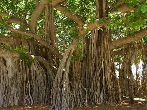Topmost Popular And Oldest Banyan Trees In India