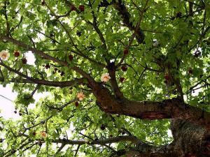 Kalpavriksha Mysterious Tree Story Images And Location