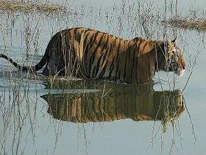 Pench Wildlife Sanctuary Madhya Pradesh Attractions Fees A