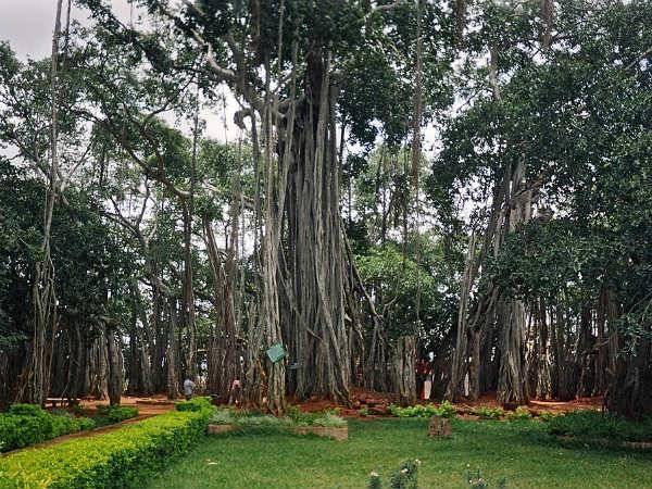 Under The Shade Big Banyan Tree Bengaluru